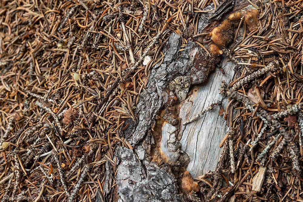 Formica rossa dei boschi (Formica rufa)